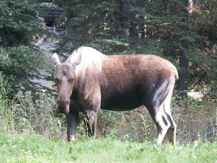 moose011.jpg