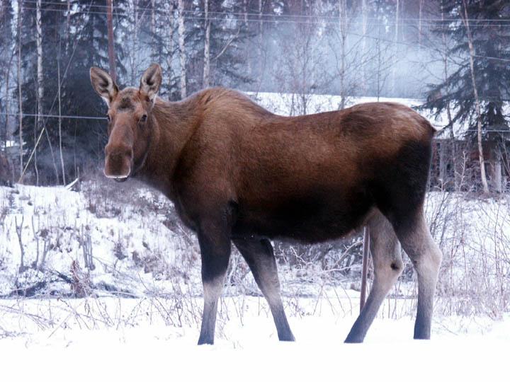 moose40.jpg