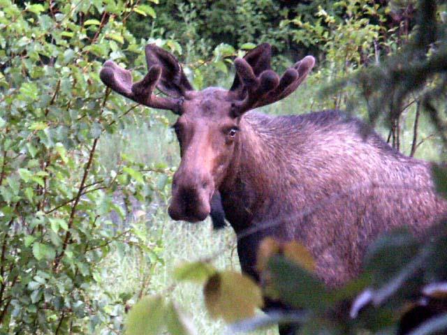 moose57.jpg
